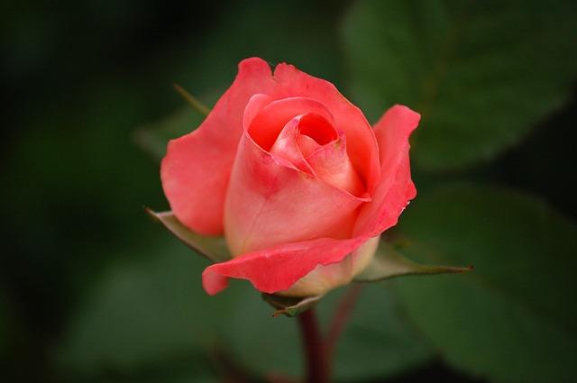 rose-591087_640